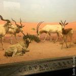 New York - Ingresso del Museo di Storia Naturale (diorama)