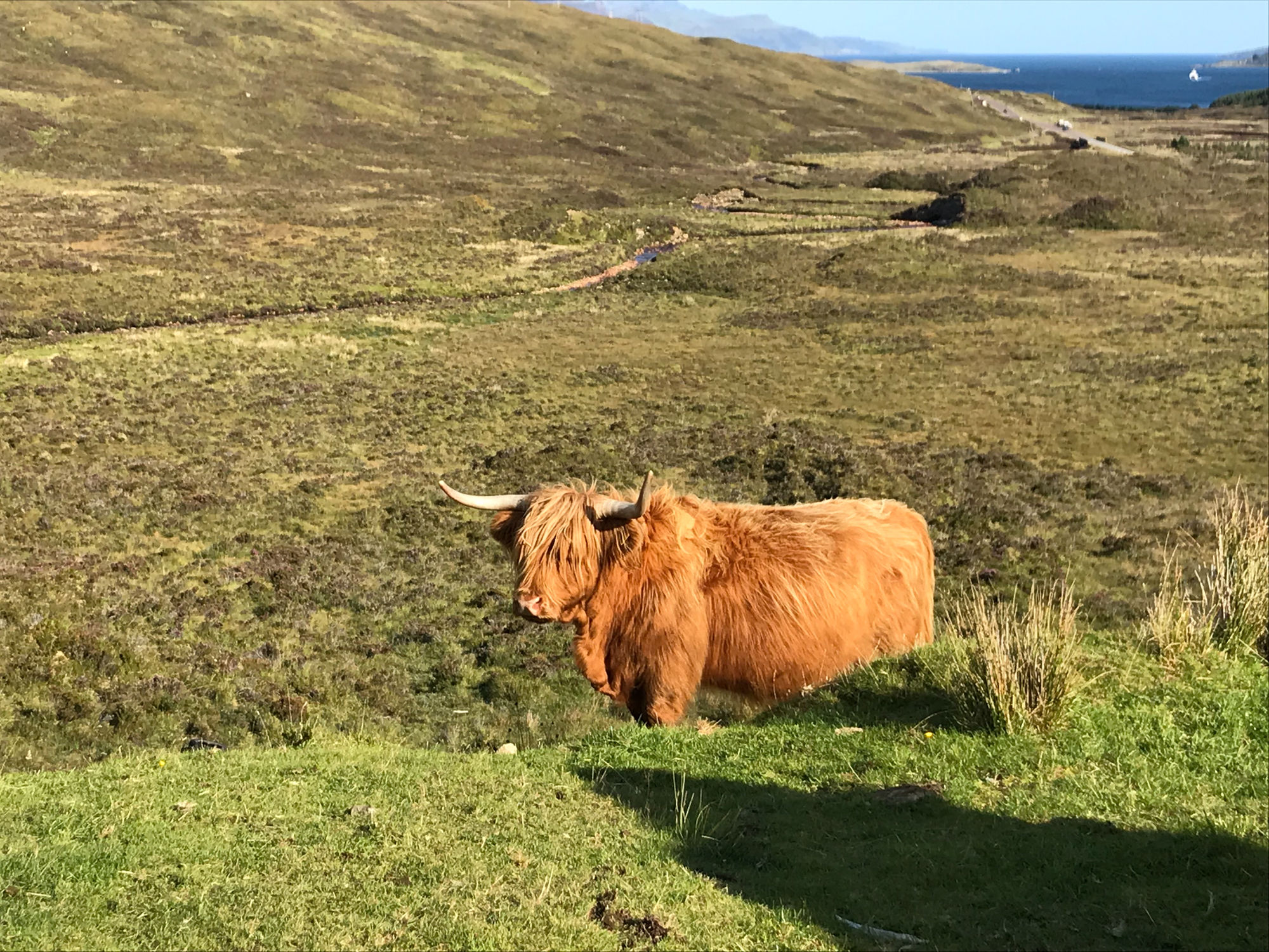 Isola di Skye - Mucche